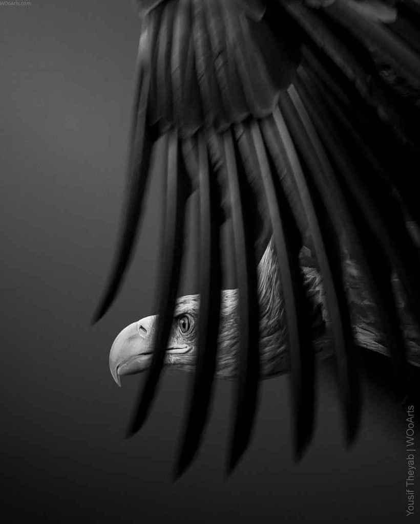 yousif-theyab-wildlife-photography-wooarts-com-01